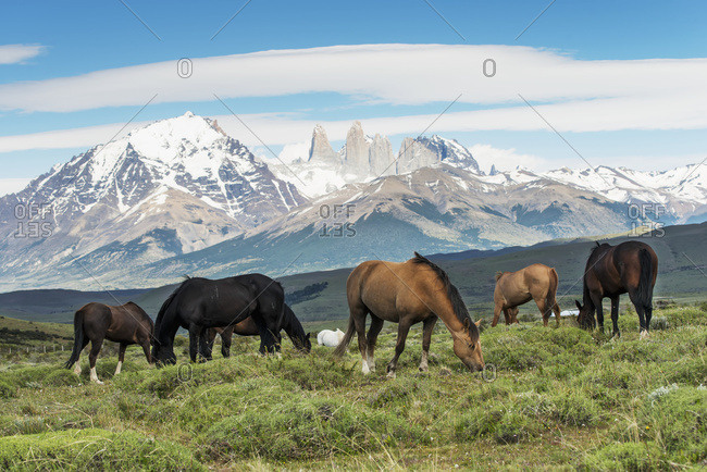 Horses Grazing In A Grass Field, Torres Del Paine National Park; Torres Del Paine, Magallanes And Antarctica Chilena Region, Chile