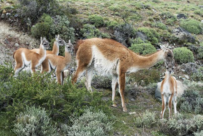 Guanaco (Lama Guanicoe), Torres Del Paine National Park; Torres Del Paine, Magallanes And Antarctica Chilena Region, Chile