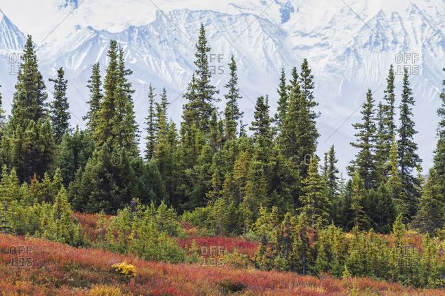 Taiga (Boreal) Forest And Tundra Near Wonder Lake In Denali National Park, Interior Alaska, With The Snow-Covered Mountains Of The Alaska Range Near The Base Of Mt. McKinley In The Background. Fall.