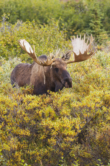Mature Bull Moose With A Large Rack And A Piece Velvet Hanging On One Antler, Stands Shoulder Deep In Yellow Brush In Denali National Park, Interior Alaska. Fall.