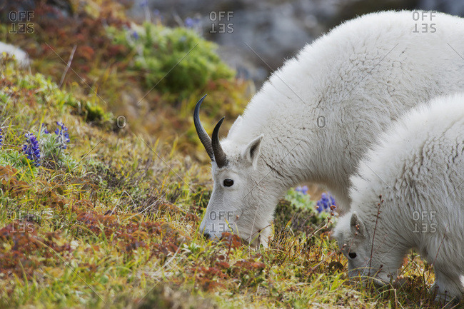 Nanny And Kid Mountain Goats (Oreamnos Americanus) Eating Groundcover Near Exit Glacier; Alaska, United States Of America