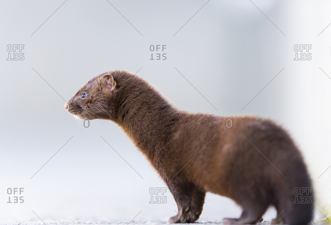Close Up Of A Mink (Neovison Vison); Valdez, Alaska, United States Of America