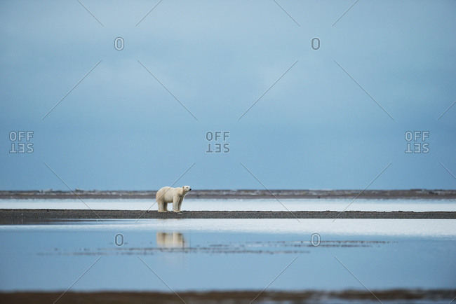 Polar Bear (Ursus Maritimus) Standing At The Water's Edge With Reflection In The Water; Kaktovik, Alaska, United States Of America