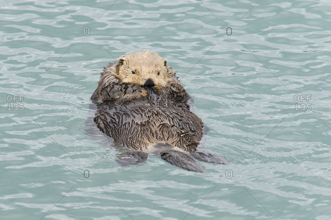 Sea Otter (Enhydra Lutris) Relaxing In The Water; Cordova, Alaska, United States Of America