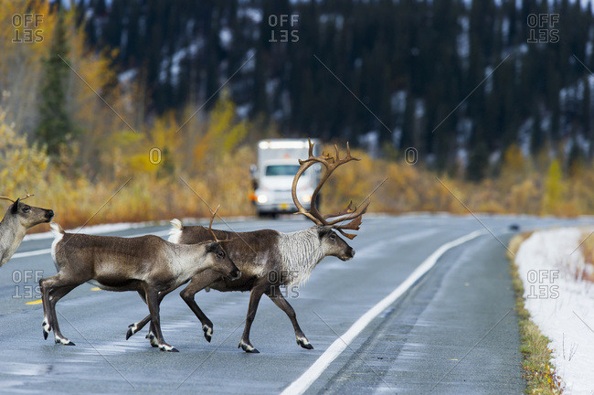 Three Caribou (Rangifer Tarandus) On The Highway; Paxson, Alaska, United States Of America