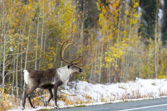 Caribou ( Rangifer Tarandus) On The Highway; Paxson, Alaska, United States Of America