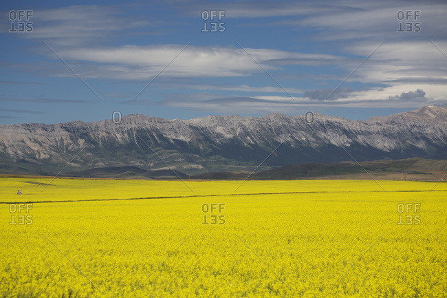 A Flowering Canola Field With Rolling Hills And Mountain Range In The Background And Blue Sky And Clouds; Pincher Creek, Alberta, Canada