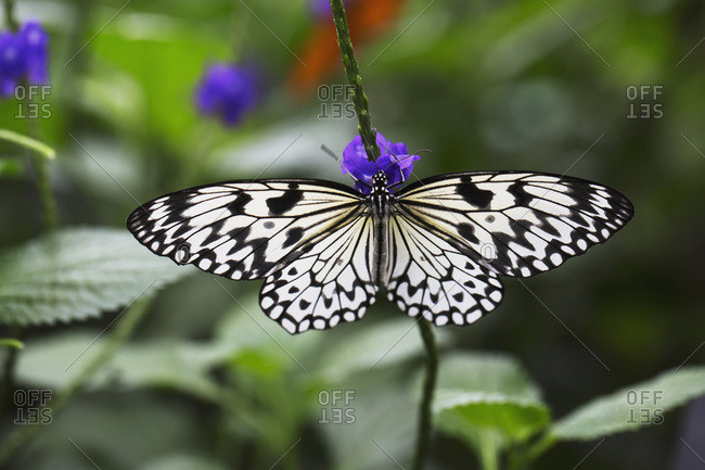 Close Up Of A Butterfly On A Small Purple Flower; Niagara Falls, Ontario, Canada