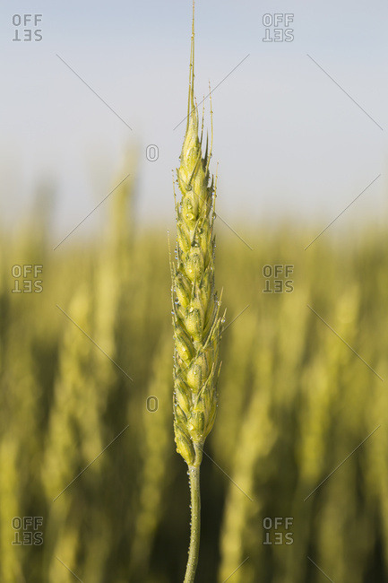 Close Up Of An Unripe (Green) Wheat Head With Water Droplets And Blue Sky; Alberta, Canada