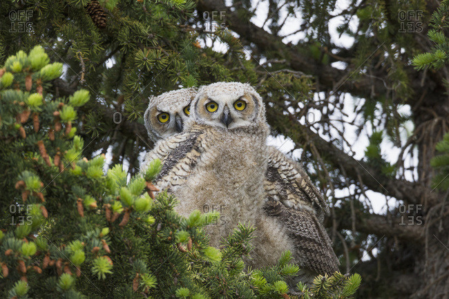 A Family Of Great Horned Owls (Bubo Virginianus) Sit In A Tree; Saskatchewan, Canada