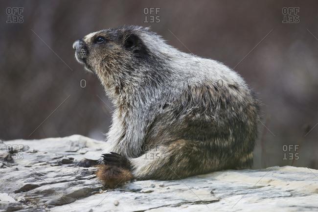 Marmot (Marmota), Yoho National Park; British Columbia, Canada