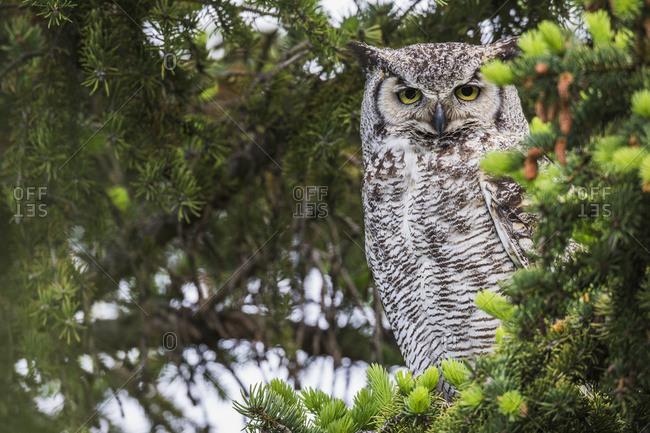 Great Horned Owl (Bubo Virginianus) Sitting In A Tree; Saskatchewan, Canada