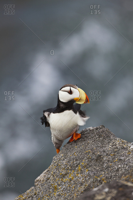 Horned Puffin (Fratercula Corniculata) Standing On Ledge Of Lichen-Covered Boulder, Feathers Blowing In The Wind, Walrus Islands State Game Sanctuary, Round Island, Bristol Bay, Southwestern Alaska