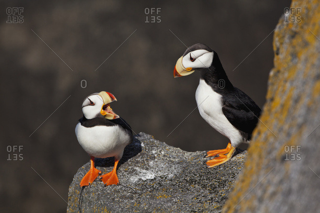 Pair Of Horned Puffins (Fratercula Corniculata) Perched On A Lichen Covered Boulder, Walrus Islands State Game Sanctuary, Round Island, Bristol Bay, Alaska