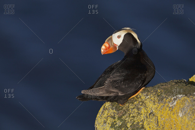 Tufted Puffin (Fratercula Cirrhata) Perched On Lichen-Covered Boulder With The Ocean In The Background, Walrus Islands State Game Sanctuary, Round Island, Bristol Bay, Southwestern Alaska