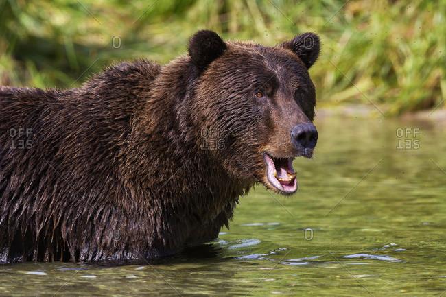 Coastal Brown Bear Fishing In A River, Katmai National Park And Preserve, Southwest Alaska