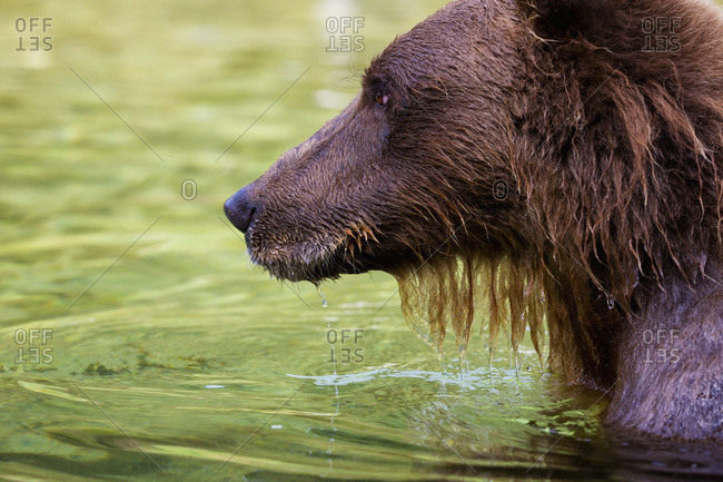 Coastal Brown Bear Fishing In A River, Katmai National Park And Preserve, Southwest Alaska