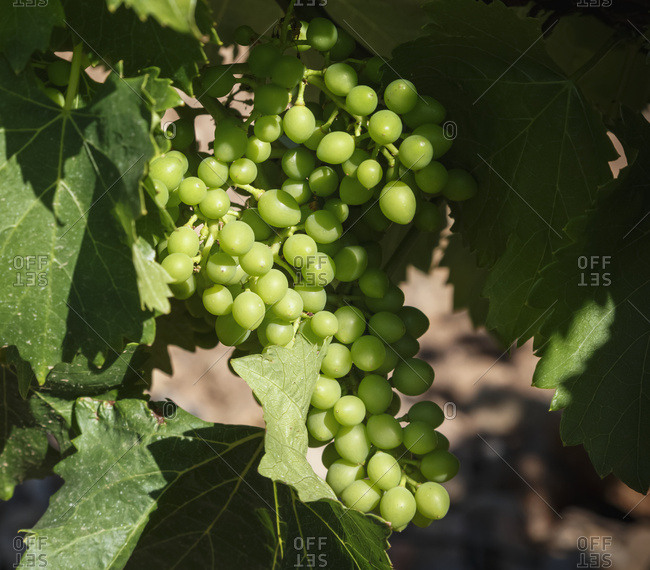 Cluster Of Grapes Maturing On The Vine; Spain