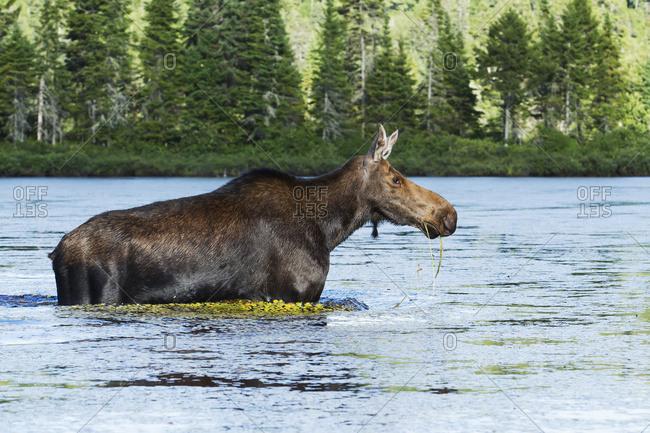 Moose (Alces Alces) Female Crossing A Lake, La Mauricie National Park; Quebec, Canada