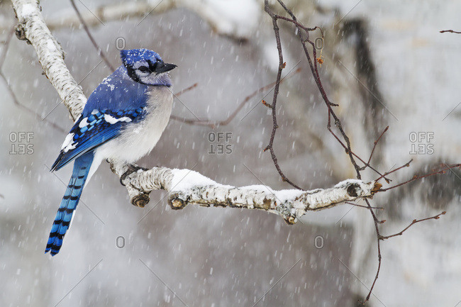 Blue Jay (Cyanocitta Cristata)Perched On A Branch Under Snowfall; Quebec, Canada