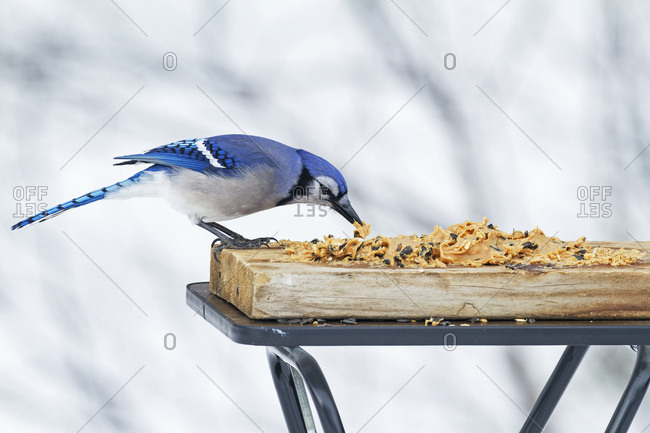 Blue Jay (Cyanocitta Cristata) Feeding At A Bird Feeder; Quebec, Canada