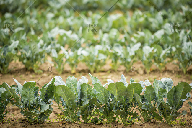 Row Of Broccoli Plants; Clinton, Maryland, United States Of America