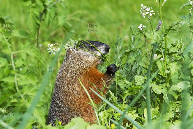 Marmot (Marmota Monax) Feeding In A Garden; Quebec, Canada