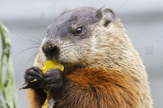 Marmot (Marmota Monax) Eating Fruit On A Pile Of Compost; Quebec, Canada