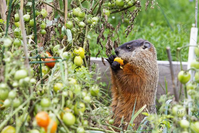 Marmot (Marmota Monax) Eating Tomatoes In A Garden; Quebec, Canada