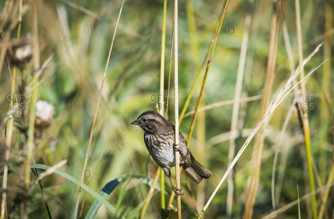 Song Sparrow (Melospiza Melodia) Perches On A Plant; Hoquiam, Washington, United States Of America