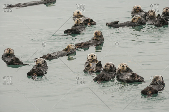 Sea Otters (Enhydra Lutris) In Prince William Sound Near Cordova, Alaska