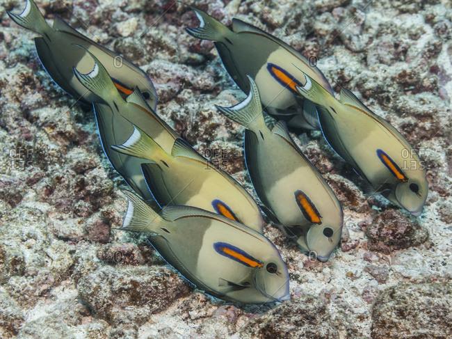 Orangeband Surgeonfish (Acanthurus Olivaceus) Feeding On Benthic Algae, Near Kona; Island Of Hawaii, Hawaii, United States Of America