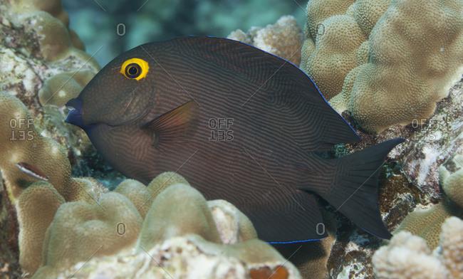 Goldring Surgeonfish (Tenochaetus Strigosus), A Hawaiian Endemc Fish, Nestled Among Coral, Near Kona; Island Of Hawaii, Hawaii, United States Of America