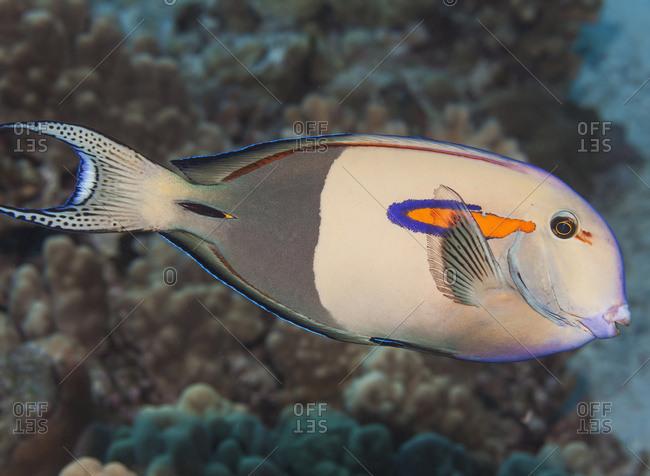Orangeband Surgeonfish (Acanthurus Olivaceus); Kona, Island Of Hawaii, Hawaii, United States Of America