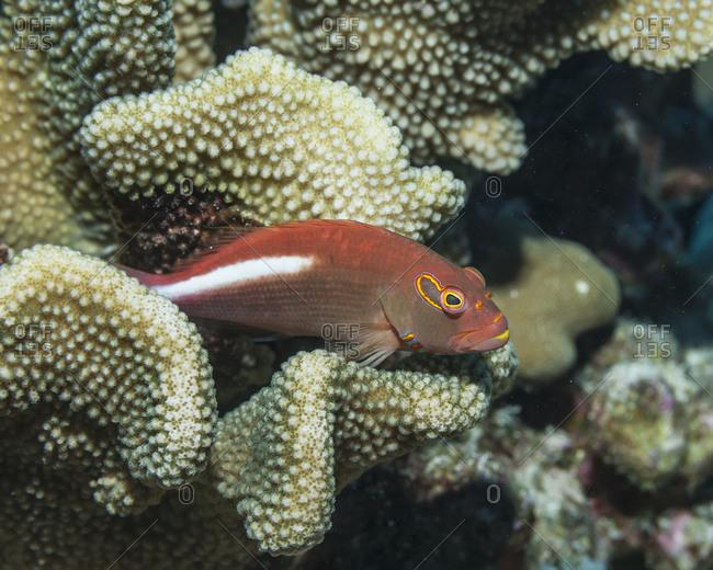 Arc-Eye Hawkfish (Paracirrhites Arcatus) Resting On Antler Coral; Kona, Island Of Hawaii, Hawaii, United States Of America