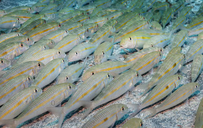 Yellowstripe Goatfish (Mulloidichthys Flavolineatus) School Resting On The Bottom; Kona, Island Of Hawaii, Hawaii, United States Of America