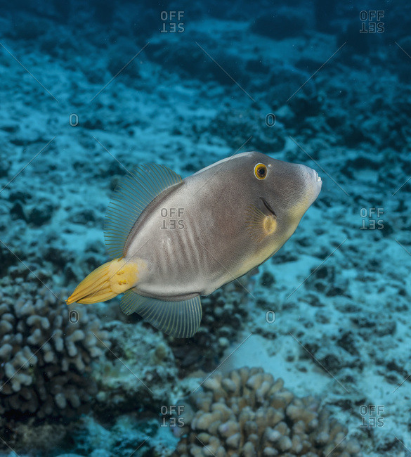 Barred Filefish (Cantherines Dumerilii); Kona, Island Of Hawaii, Hawaii, United States Of America