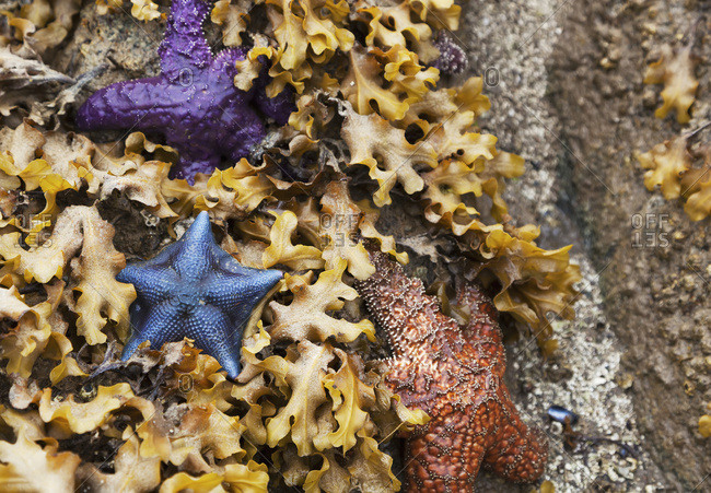 Colorful Sea Stars In A Bed Of Kelp On A Beach On The Central Coast; British Columbia, Canada