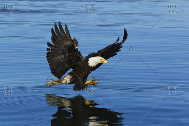 Bald Eagle Fishing In Tracy Arm, Inside Passage, Southeast Alaska, Summer