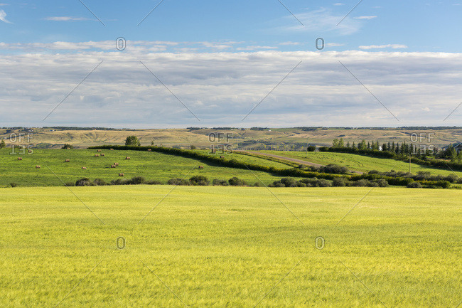 Semi-Ripe Grain Field With Rolling Green Fields In The Background With Blue Sky And Clouds On The Horizon; Alberta, Canada