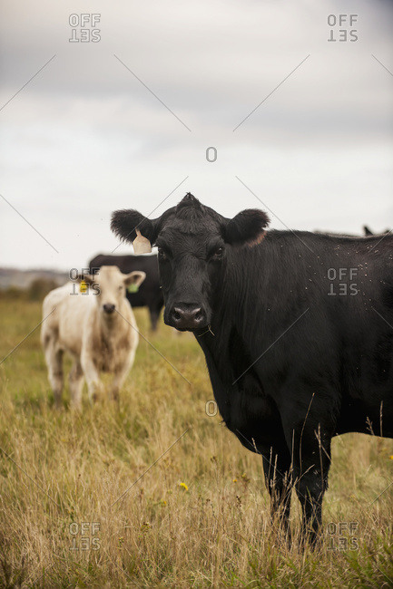 Cattle In A Field Under A Cloudy Sky; North Dakota, United States Of America