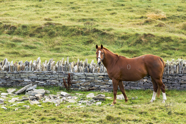 Single Horse In A Grassy Field With Rocks And Stone Fence; Kilkee, County Clare, Ireland