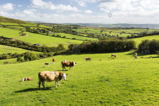 Cattle Grazing On Lush Green Hilly Pastures With Trees Separating Fields; County Kerry, Ireland