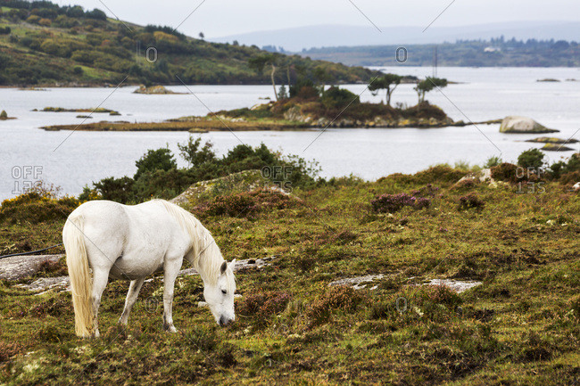 Single White Horse In Scrubby Field With Bay And Island In Background; Clifden, County Galway, Ireland