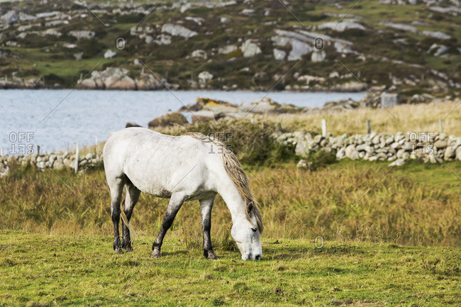 Single Horse Grazing In Grassy Field With The Bay In The Distance And A Rocky Hillside In Background; Omey Island, County Galway, Ireland