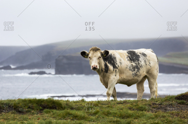Cattle On Grassy Cliff Overlooking Rugged Coastline In The Distance With Fog; Kilkee, County Clare, Ireland
