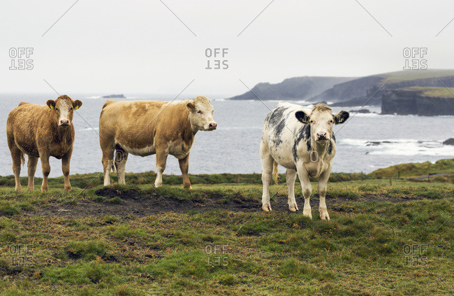 Cattle On Grassy Cliff Overlooking Rugged Coastline In The Distance; Kilkee, County Clare, Ireland
