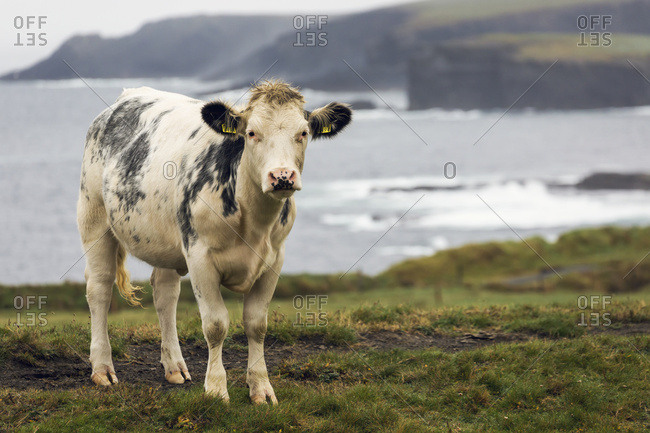 Close Up Of A Cow On Grassy Cliff Overlooking Rugged Coastline In The Distance And Fog; Kilkee, County Clare, Ireland