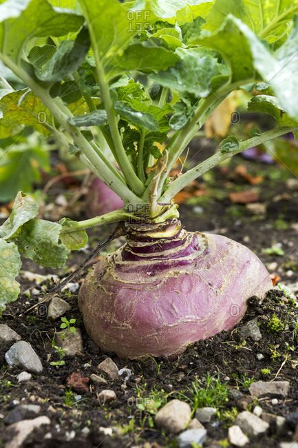 Close Up Of A Purple Turnip Growing In The Soil; County Galway, Ireland