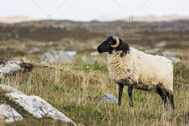 Ram Sheep In A Rocky Grass Field With Mountains In The Background; County Galway, Ireland